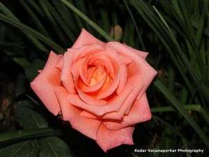 The pink rose at Jammu