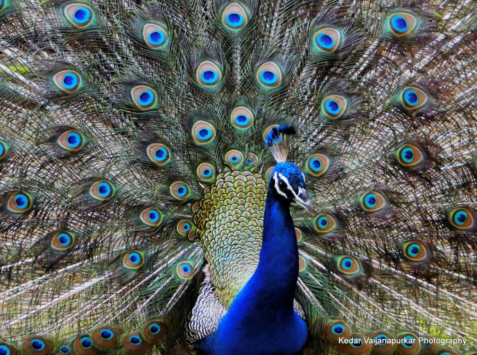 Indian National Bird, Peacock.