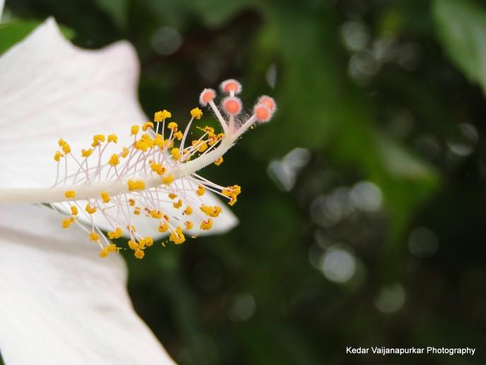 hibiscus stigma