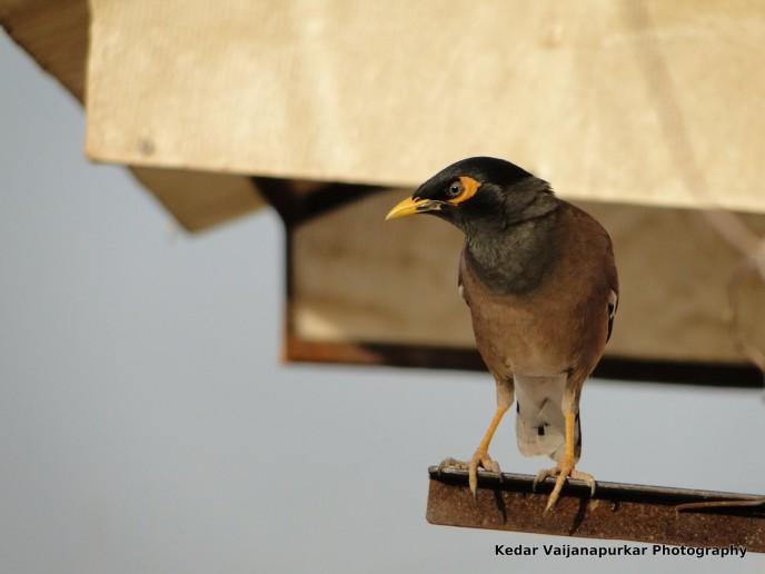 Common Myna(Kabar) Bird