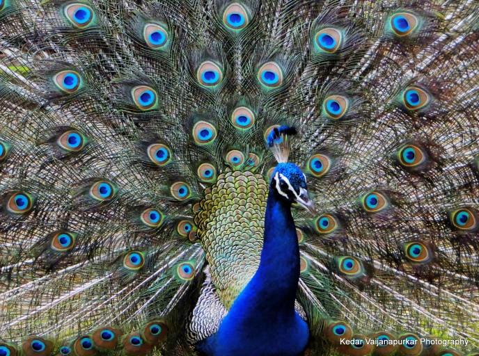 Indian National Bird, Peacock.